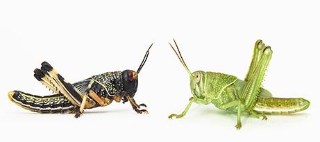 Locusts Upon the Land